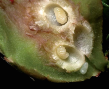vespa-nera-del-castagno-larvamm