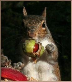 squirreleatingchestnut
